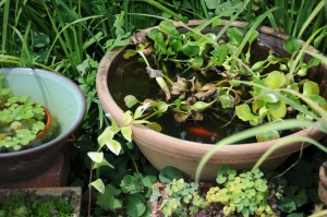 浮き草と金魚